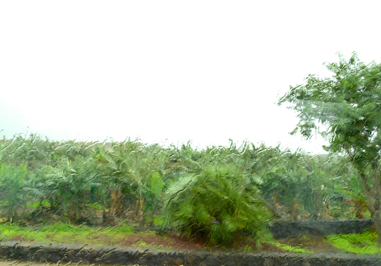 Banana Trees from Bus in Pouring Rain.