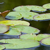 Water Lily - Lily Pool Terrace