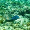 Snorkeling - Sapphire Beach, St Thomas, USVI<br /> Blue Caribbean (or Atlantic) Tang (AKA Blue Tang Surgeonfish)
