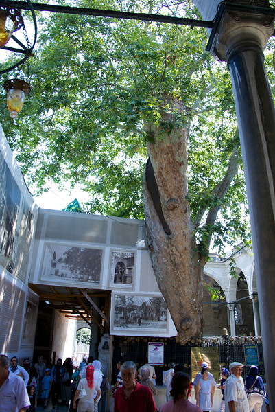 This Tree Was Planted in 1493 In Honor of Finding The Grave of Ak Şemsettin, the spiritual mentor of Mehmed II