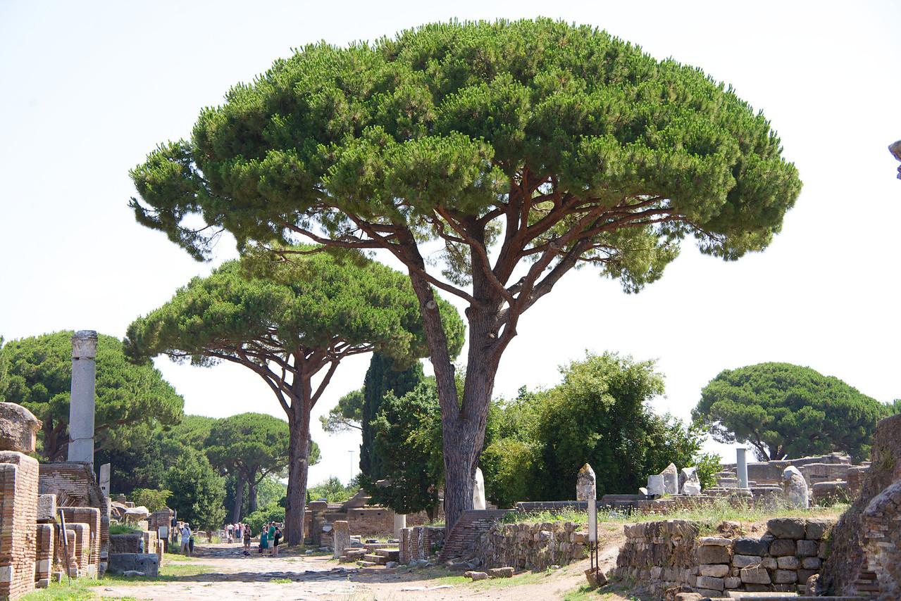 Umbrella Pines, a Protected Tree