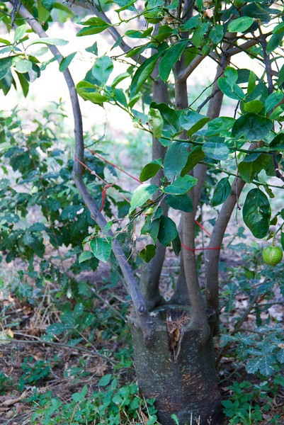 Grafted Lemon Tree… Way That Growth is Forced In Order To Pick Four Times Per Year