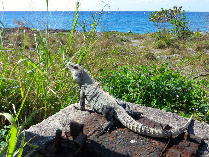 Iguana in Cozumel, Mexico