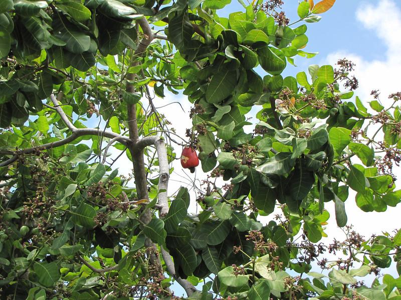 A cashew tree.