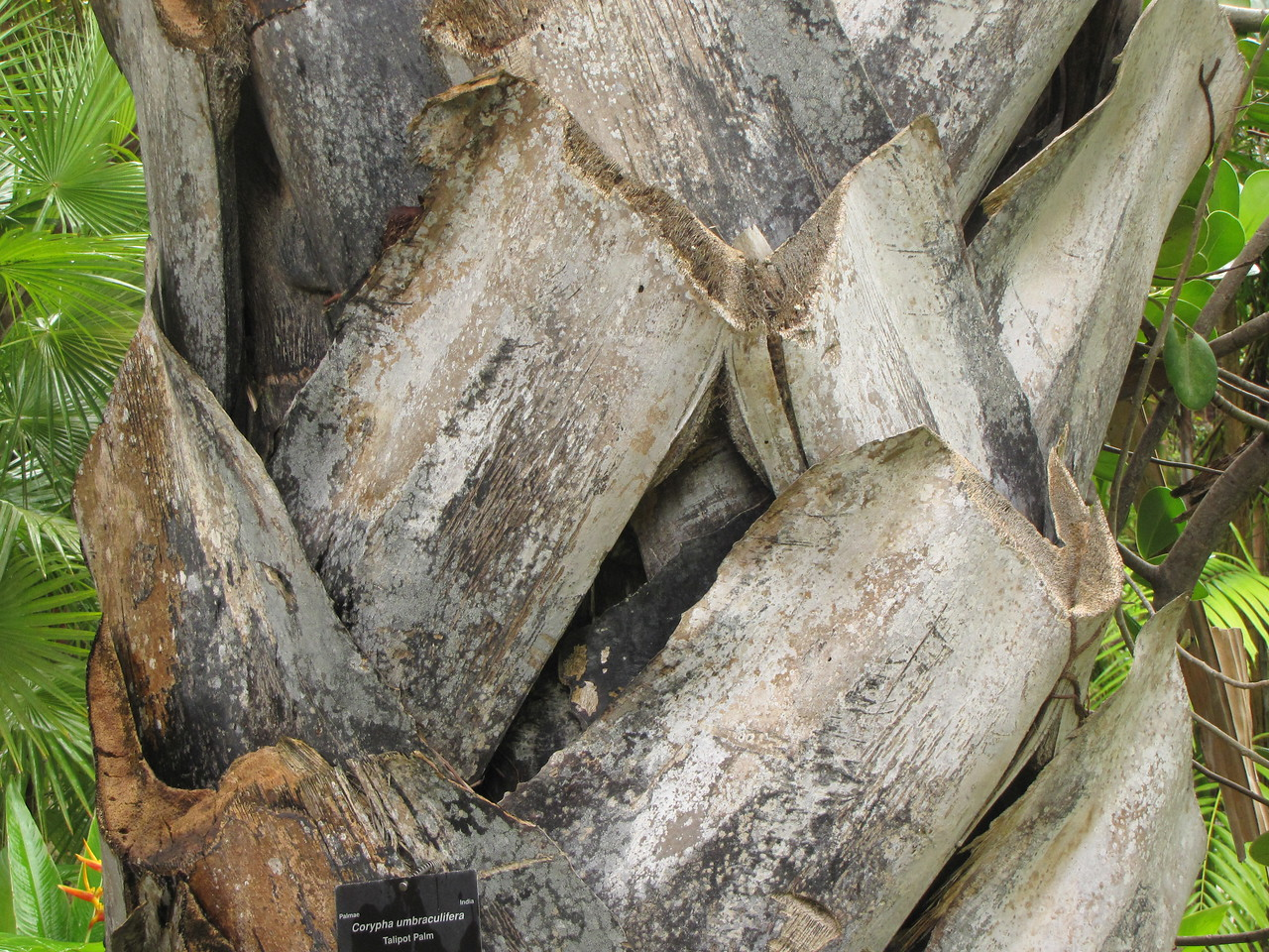 Close up of the trunk of the Talipot Palm.