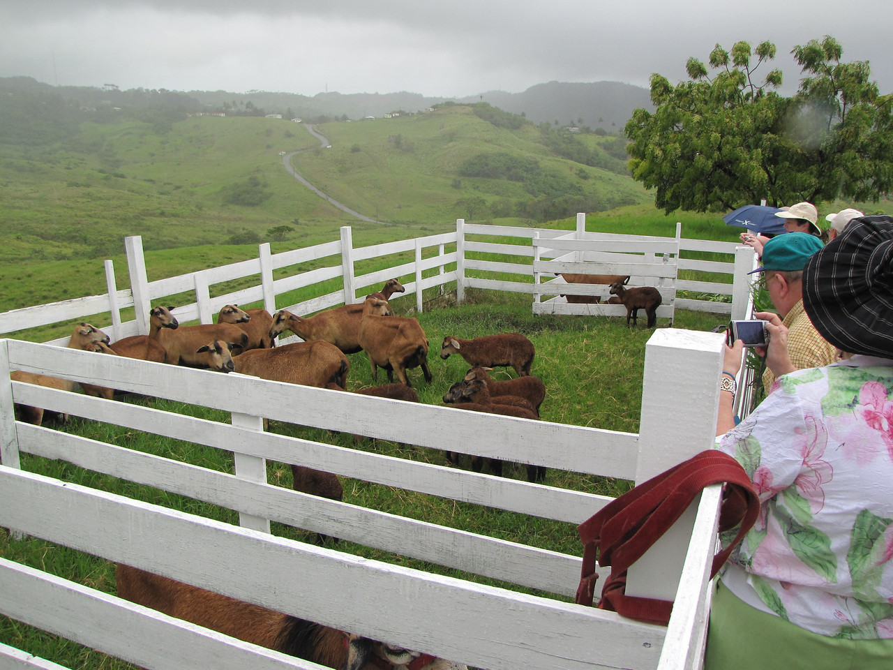 We did get to see some Barbados Blackbelly Sheep.