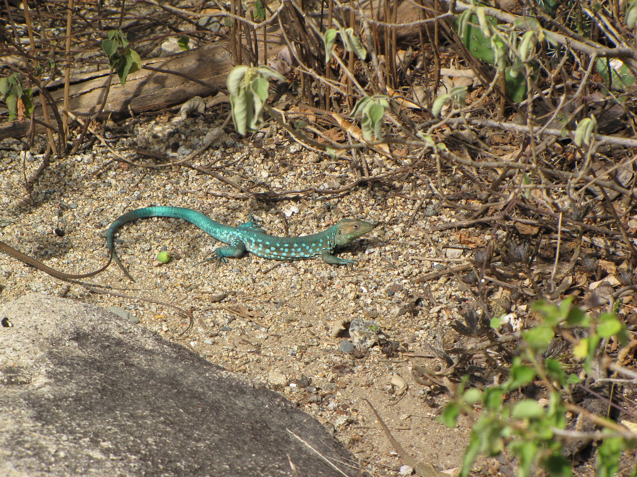 We saw lots of these Aruban Whiptail lizards.