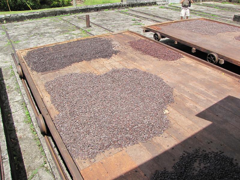 Cocoa beans dry outside.