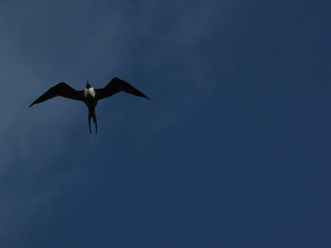 A frigate bird passes overhead.
