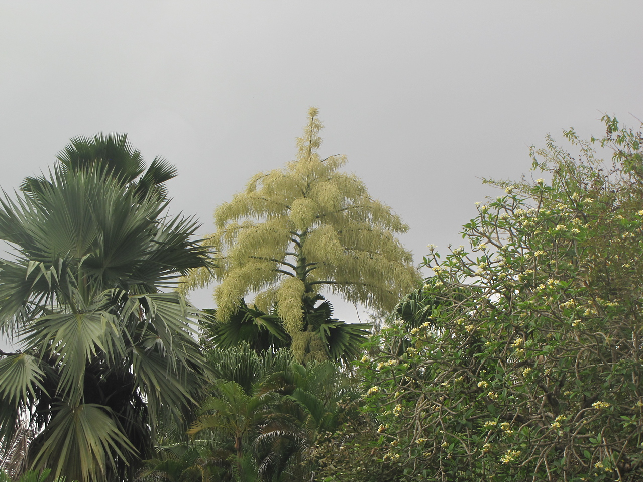We were very fortunate to be able to see the Garden's huge Talipot Palm in bloom.  They bloom only once in their life - typically when they are 50 to 60 years old.
