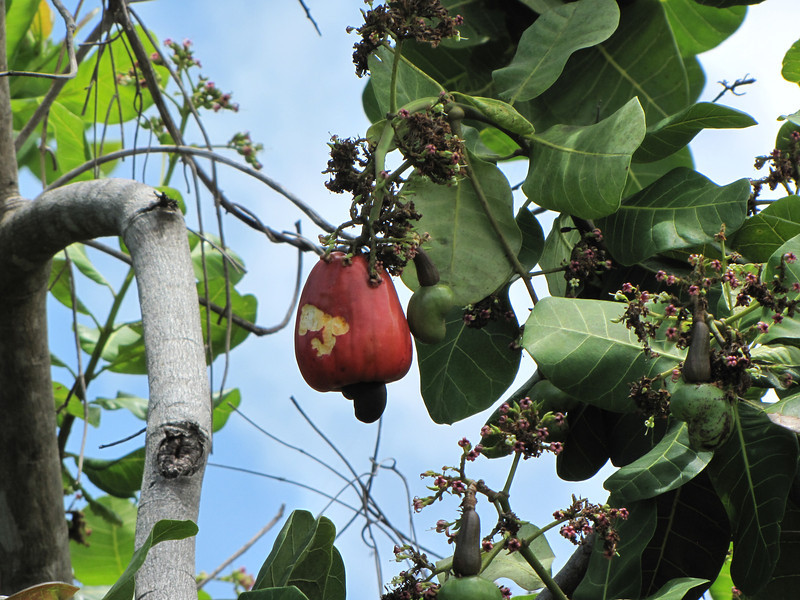 A cashew in the making.