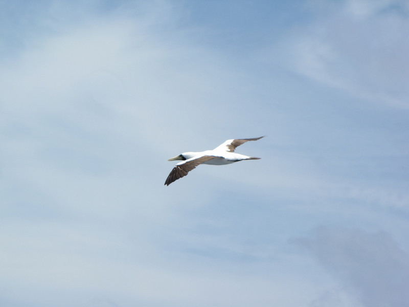 We also see this masked booby from our balcony.