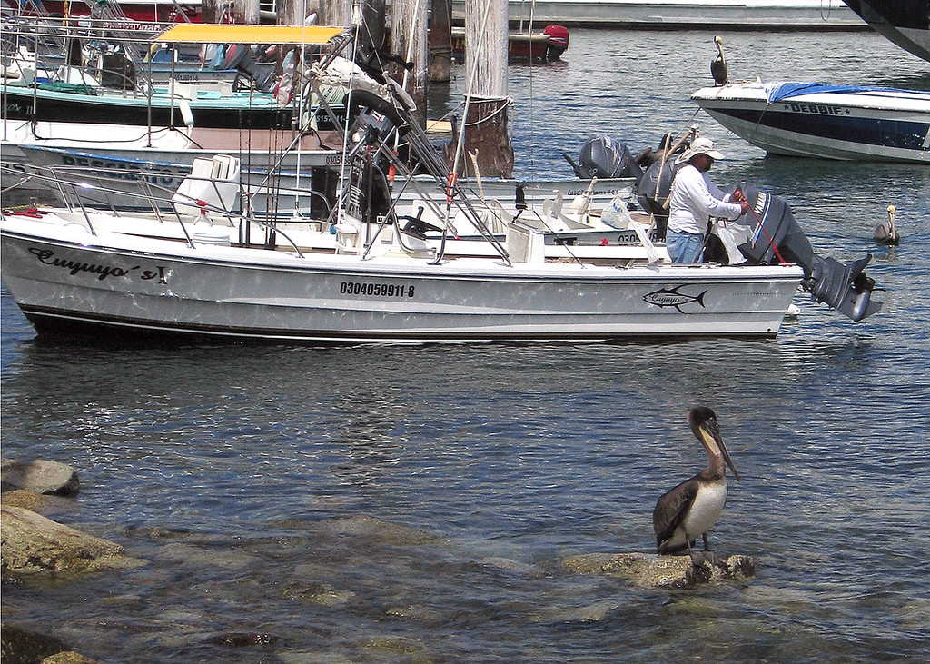 Pelican in the Cabo San Lucas harbor