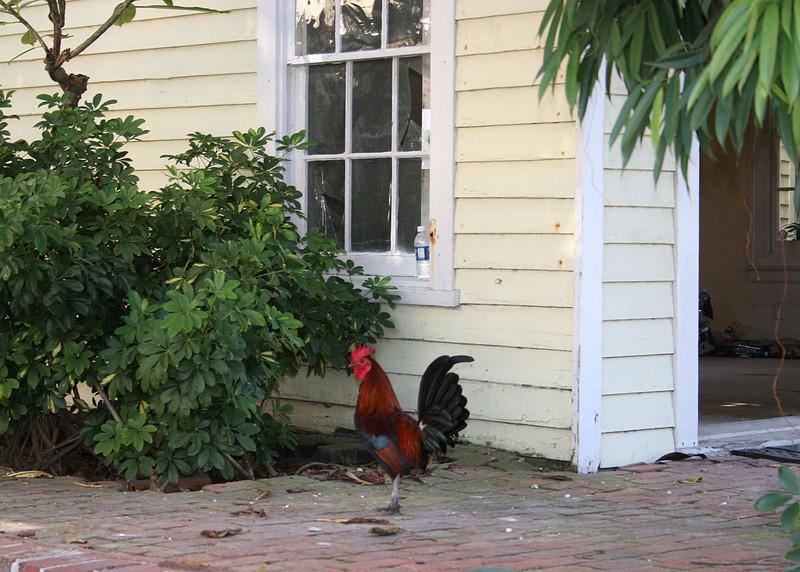 Rooster walking along street in Key West.