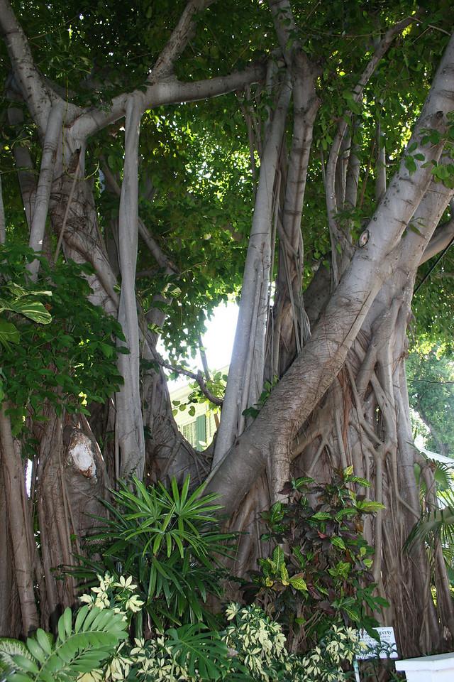 Banyan Tree in Key West.