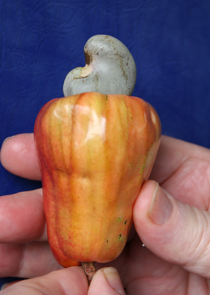 """The Cashew nut is that greenish thing on top.  The reddish/orange is called the cashew apple.  It is edible, and has a strong """"sweet"""" smell and a sweet taste."""