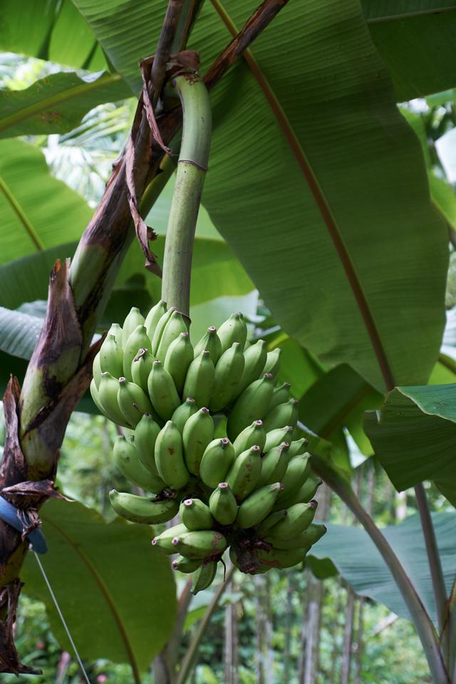 Green Lady Finger Bananas.