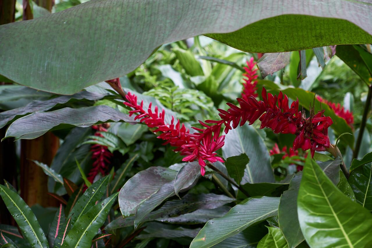 Red Flowering Ginger.