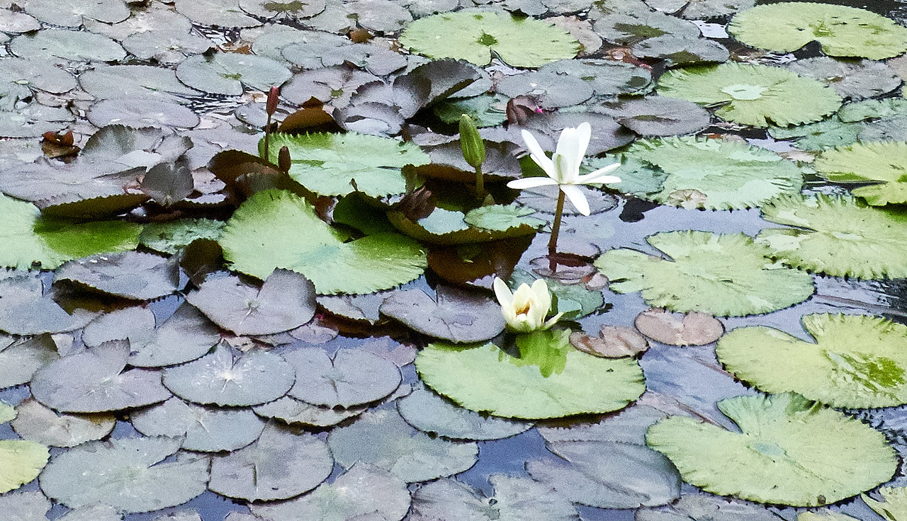 The lotus is often found at the site of every Buddhist Temple and Pagoda.