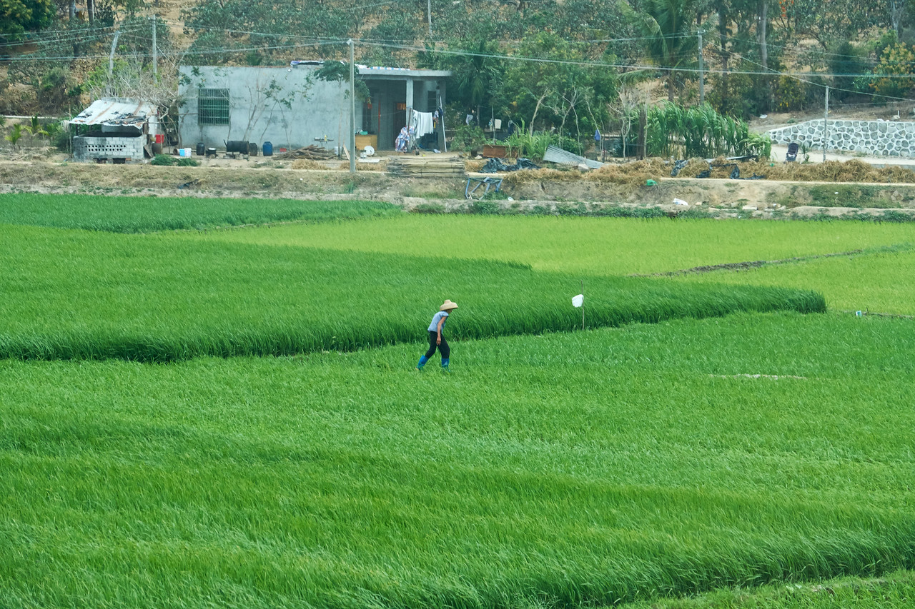 Rice fields on way to Nanshon Cultural Resort. (from bus)