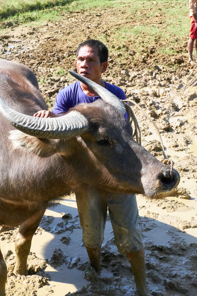 This waterbuffalo was being brought out for tourists to ride.