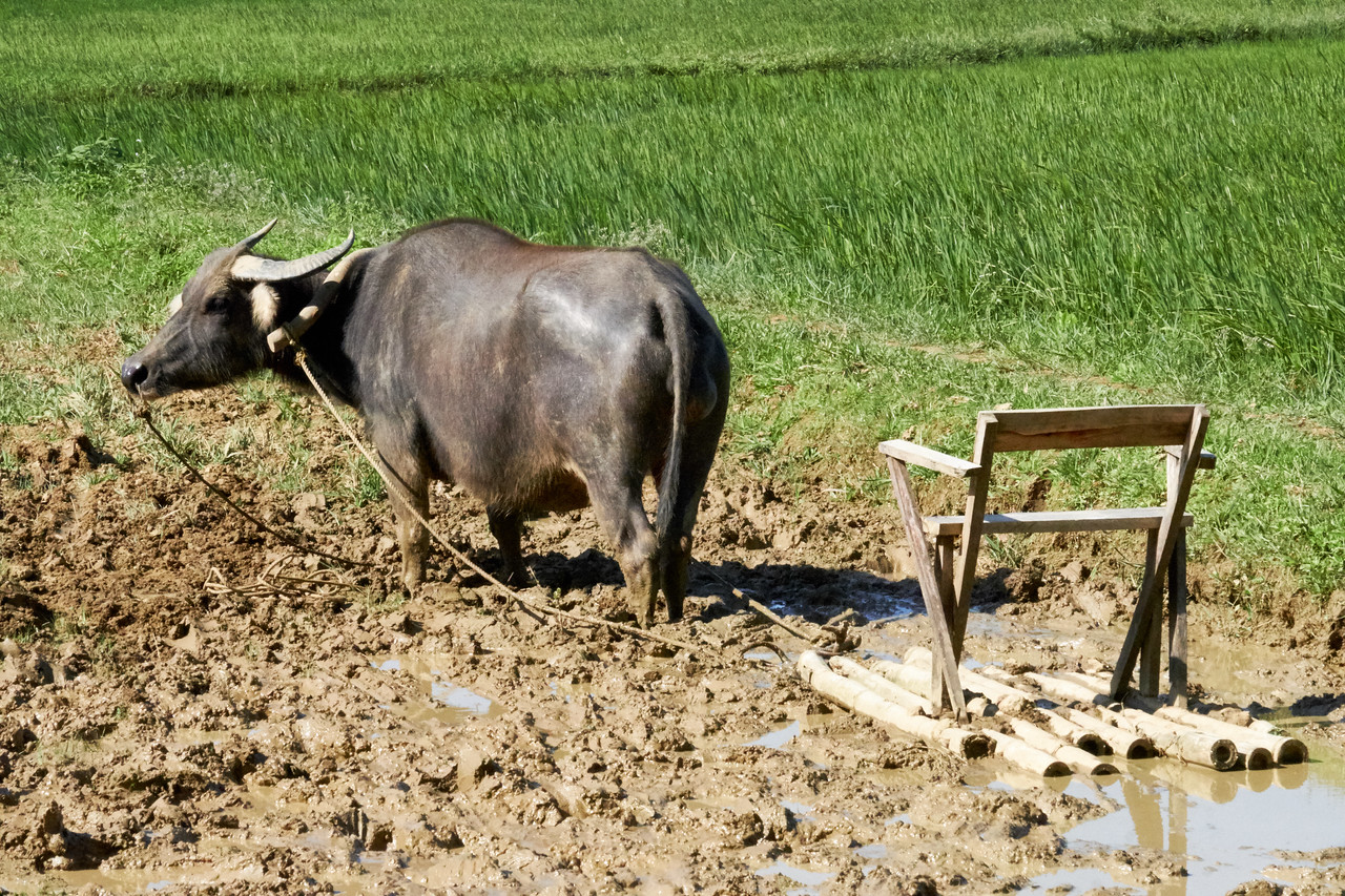 Water buffalo to plow the fields. Once a  field has been plowed it is leveled using the chair atop the bamboo platform.