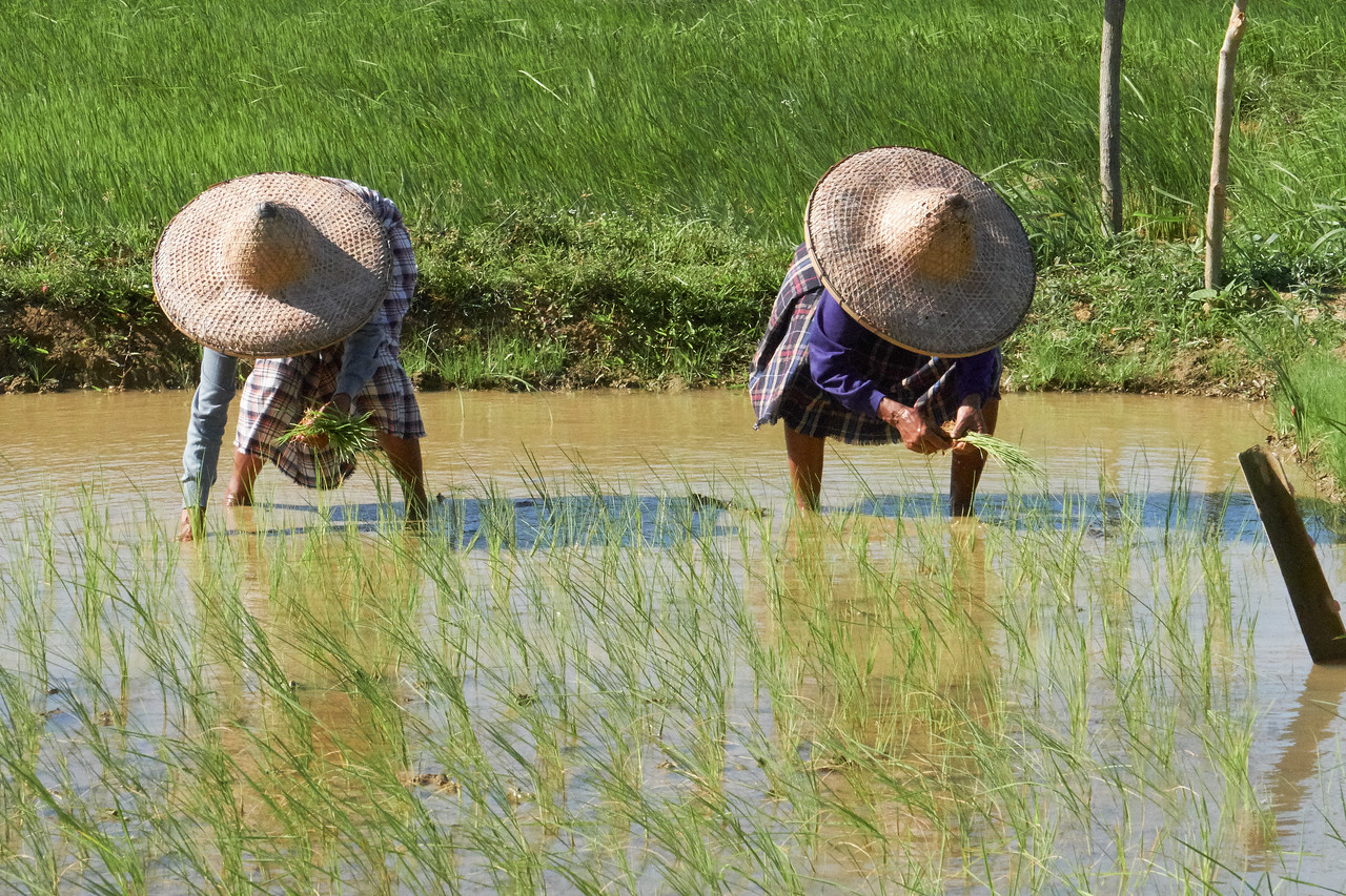 Planting rice seedlings.