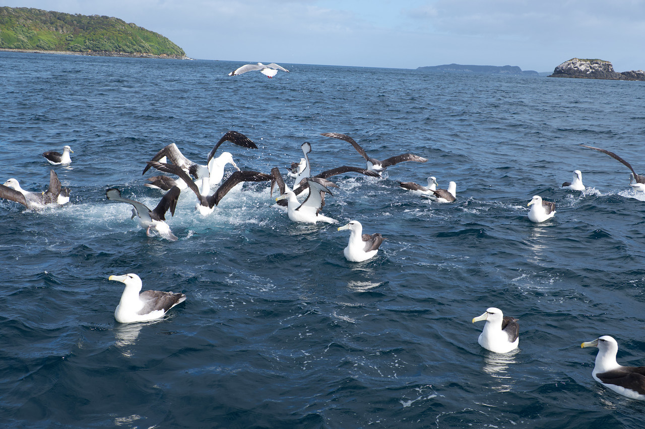Albatross diving and fighting for fish thrown into sea.