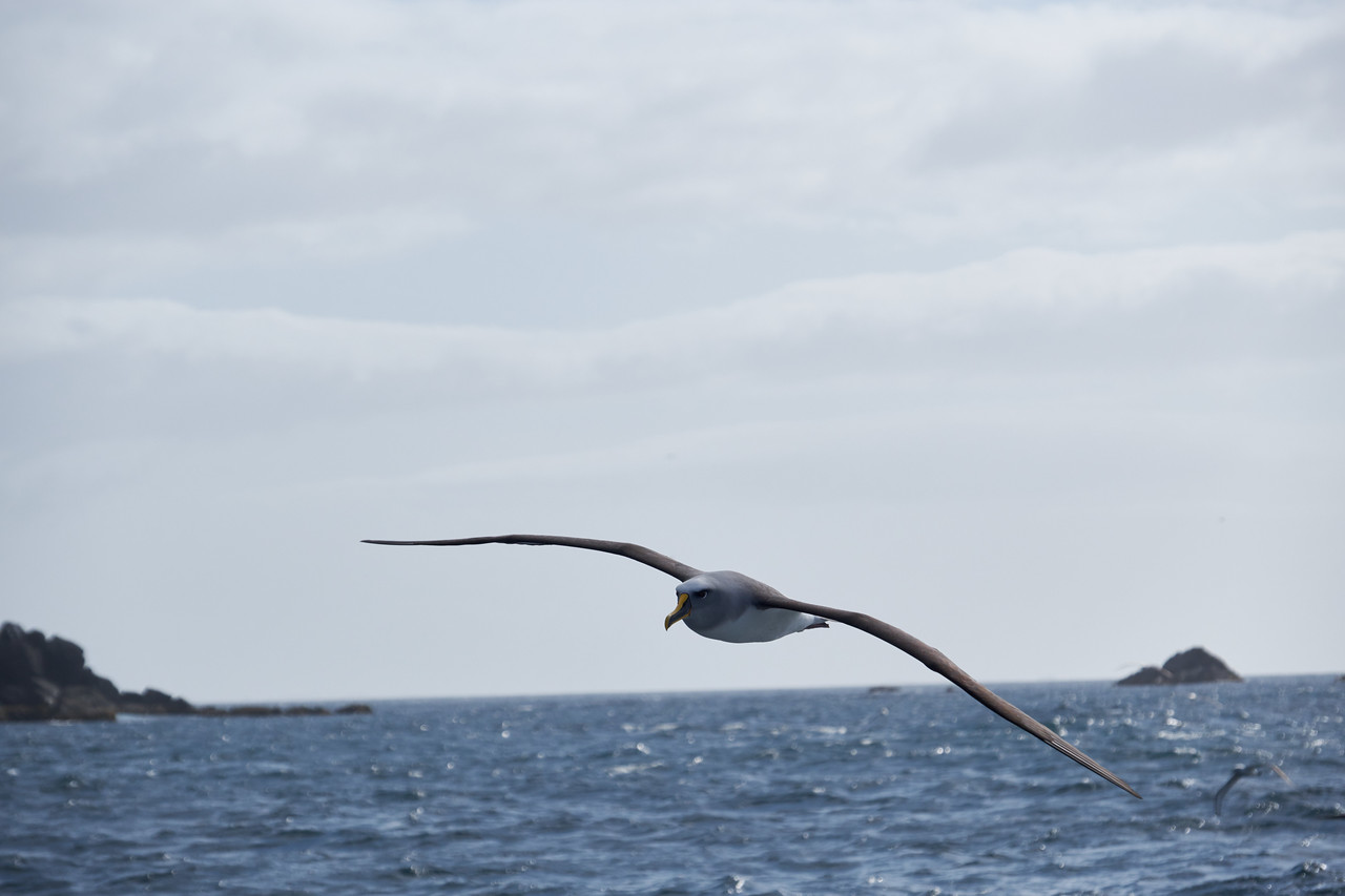 The Albatross are magnificent gliders.