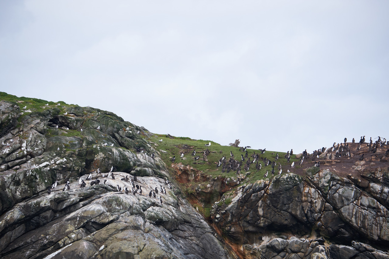 Hundreds of Shags on top of island.