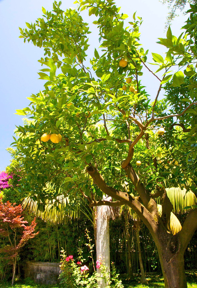 Lemon Tree on Way to Grand Hotel Excelsior Vittoria (Lunch)