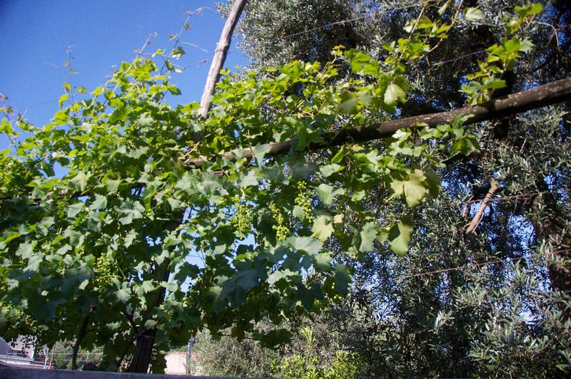 Grape Vines, Olive Trees Behind