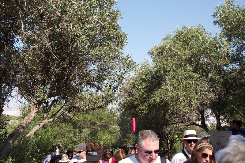 Olive Trees Everywhere On Acropolis Approach