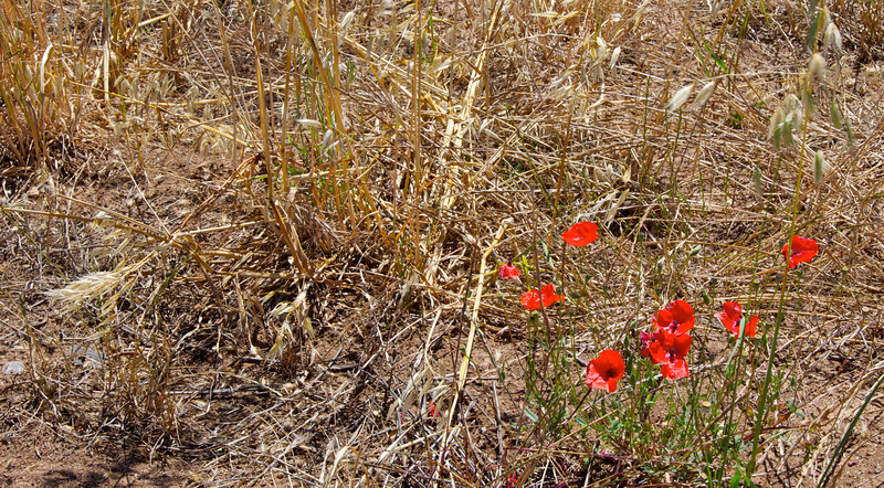 Red Poppies in Wheat Field