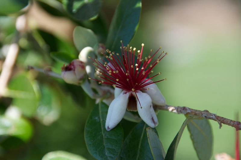 Australian Christmas Tree Flower