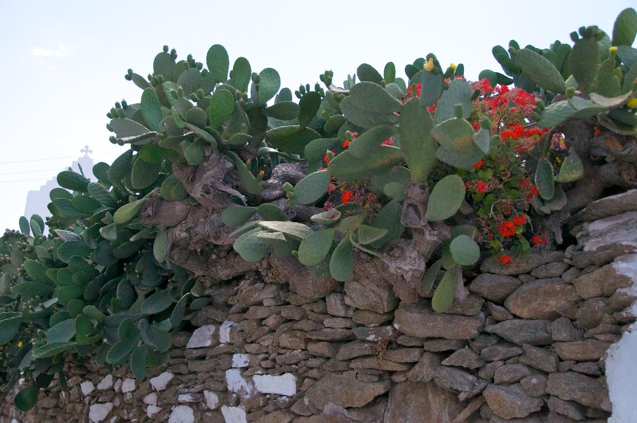 Prickly Pears (Cactus   Sabra)