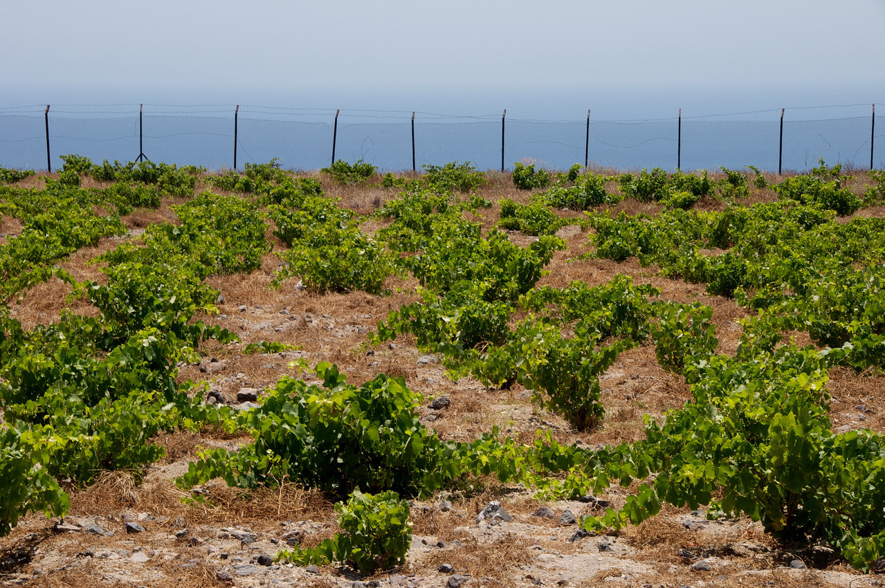 Grape Vines Are Grown Close To The Ground To Avoid Being Destroyed by Wind