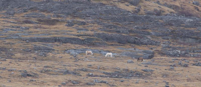 Viking horses at Hvalsø