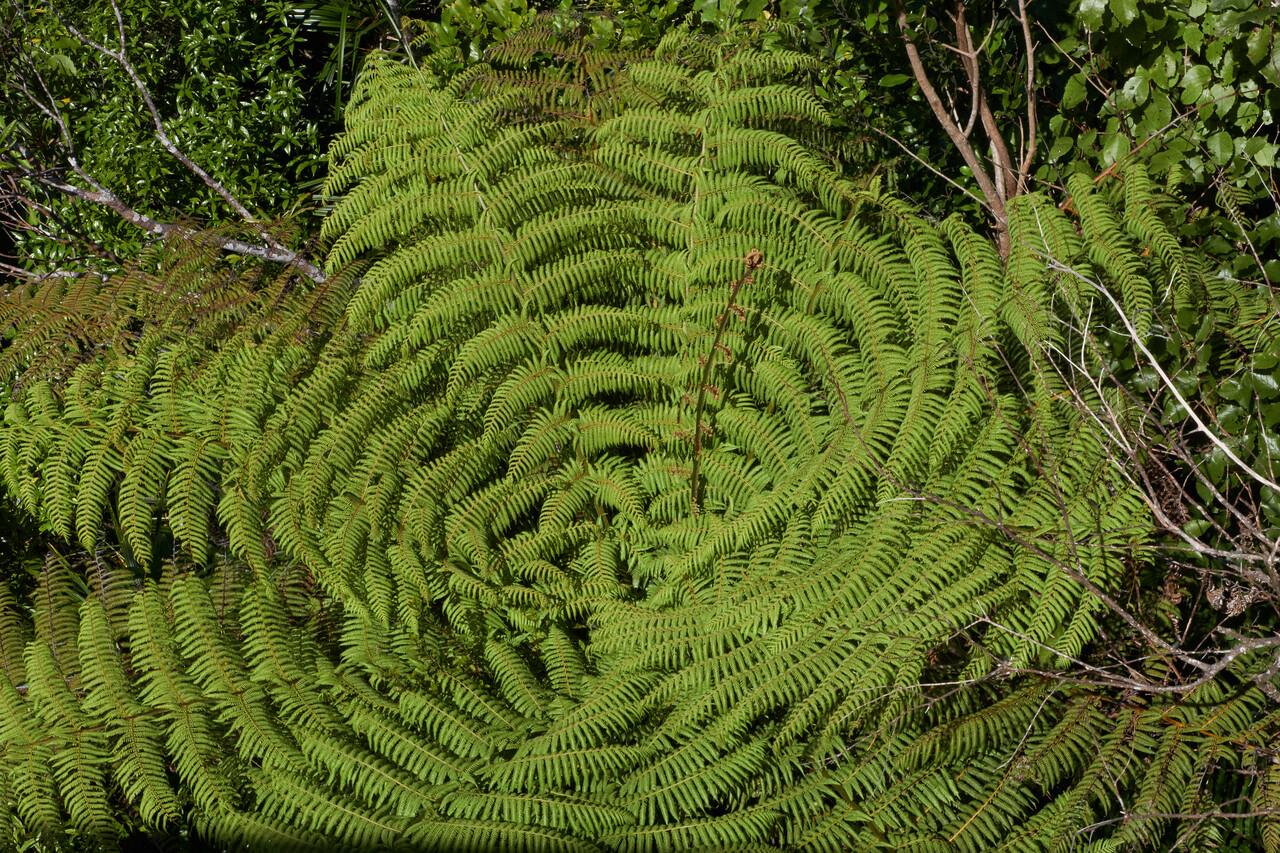 Huge Ferns at Waitakere Ranges Regional Park.