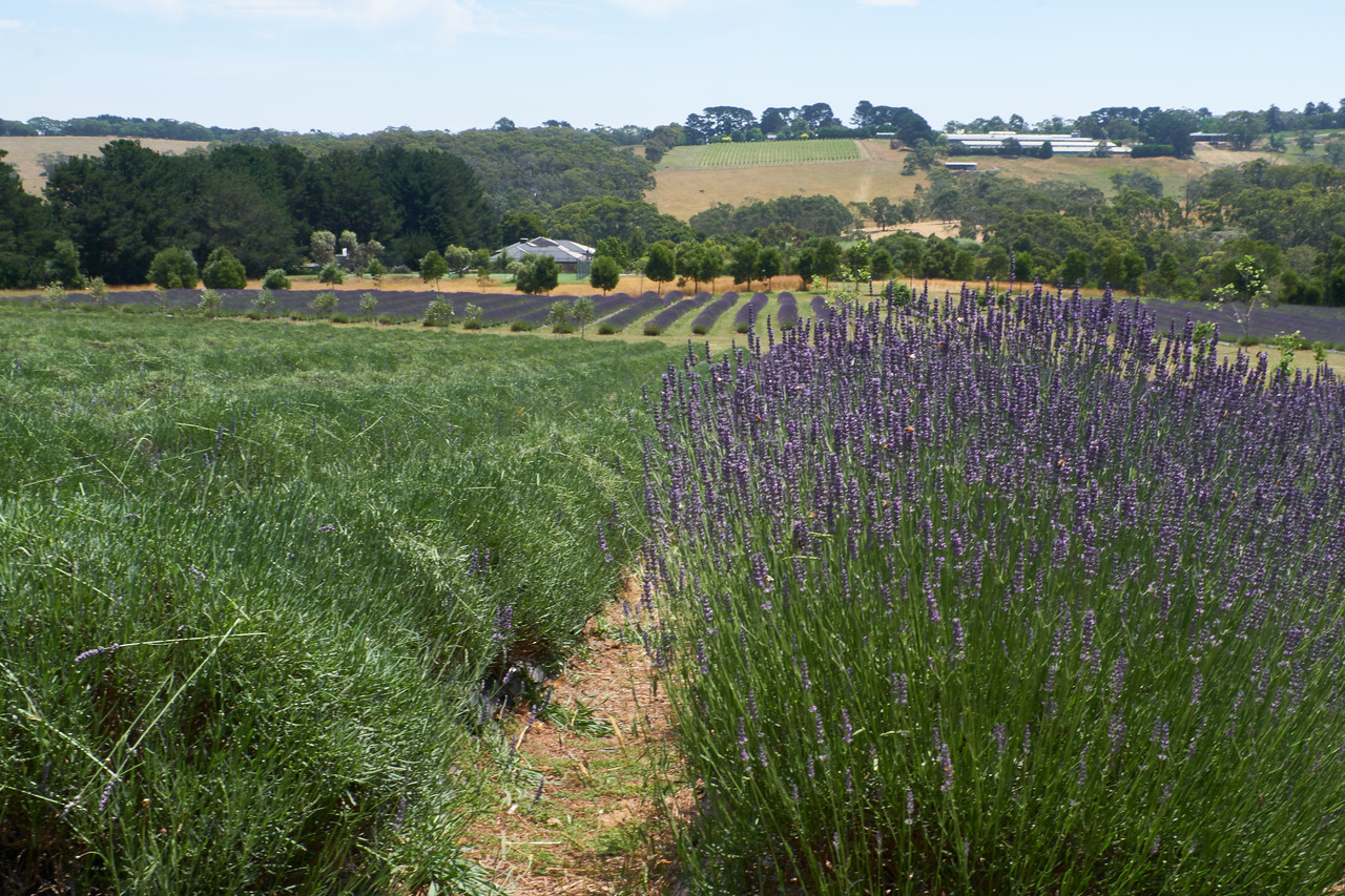 Lavendar on left has been harvested. Lavendar on the right is ready to be harvested.