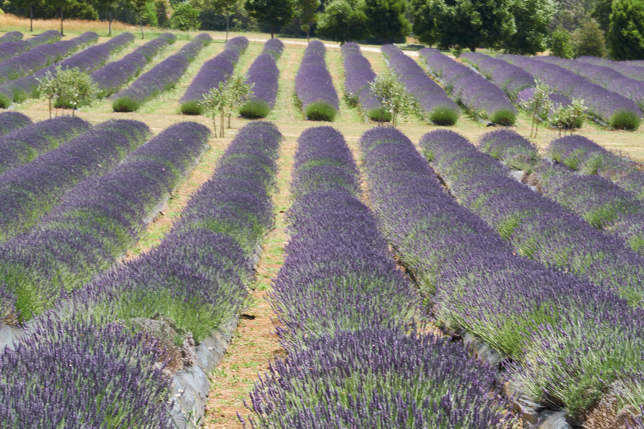 Lavendar is planted in very nice, neat rows.