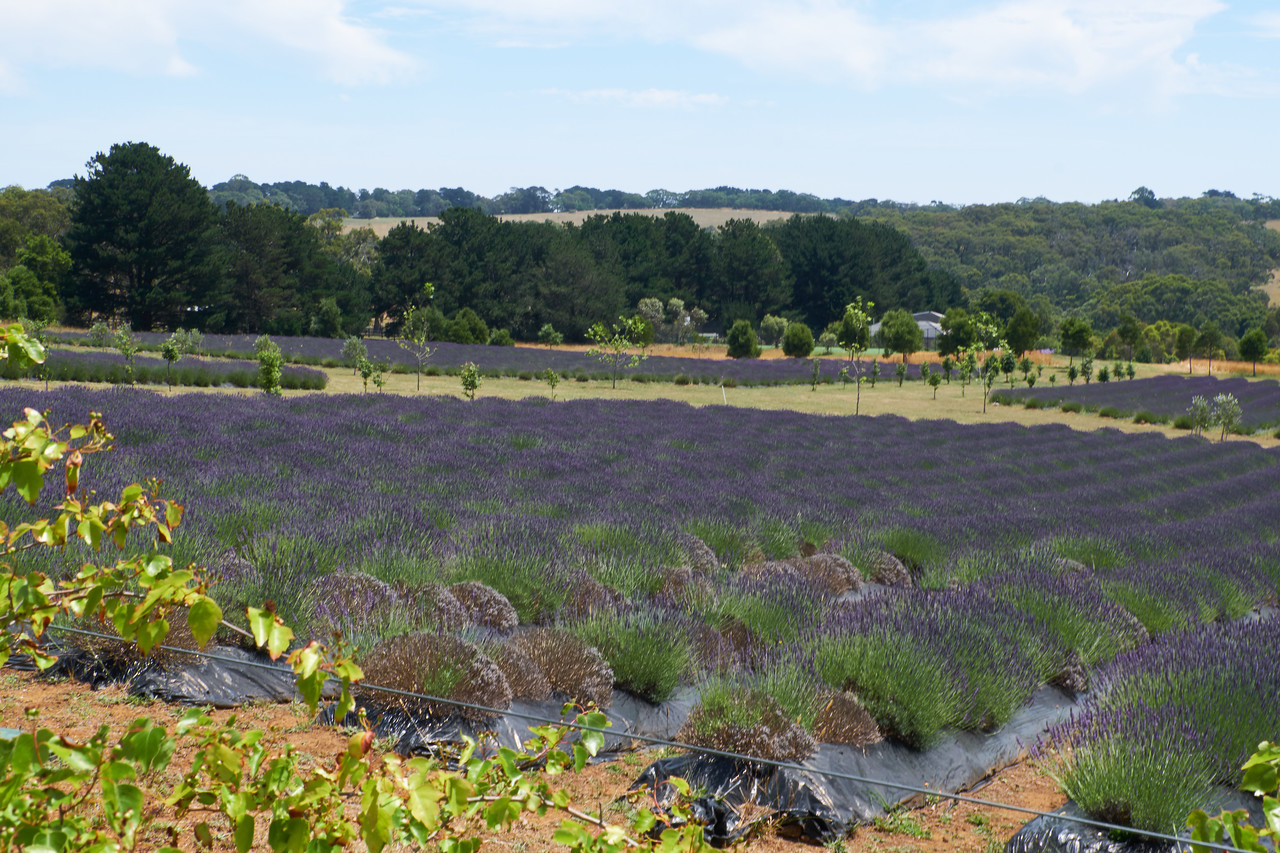 Lavendar Farm on Mornington Peninsula.