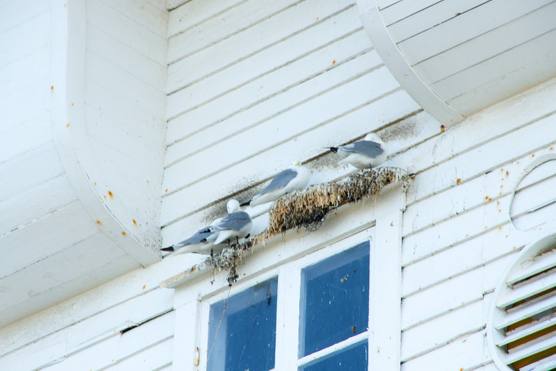 Sea Gulls nesting on window ceil