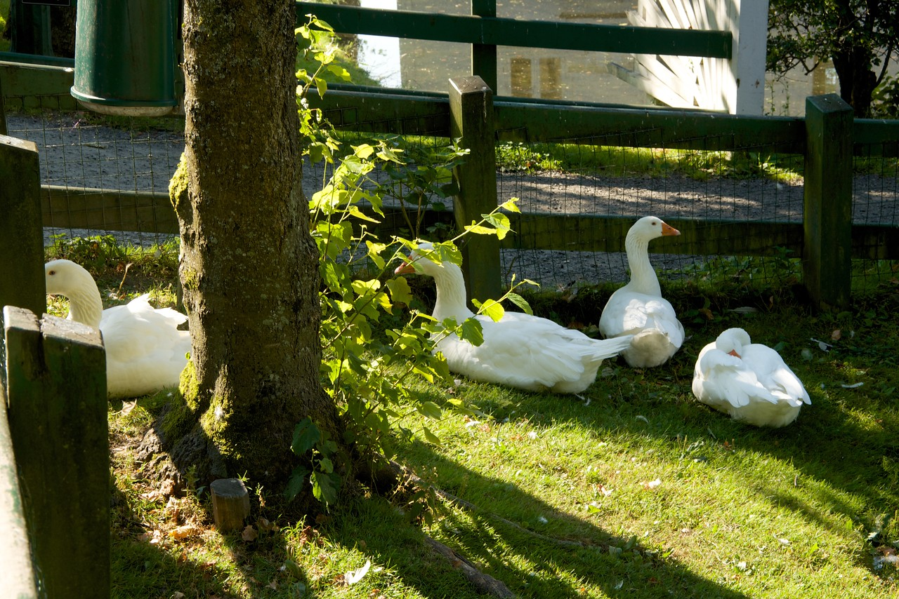 Swans for the pond