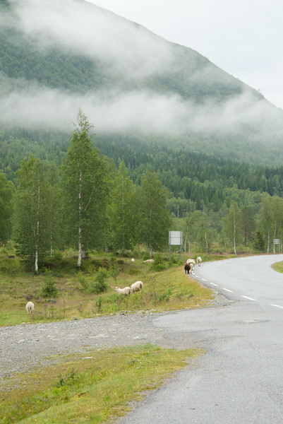 Sheep Allowed to Roam Freely Throughout the Area