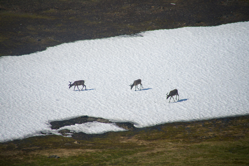 Reindeer on Patches of Snow