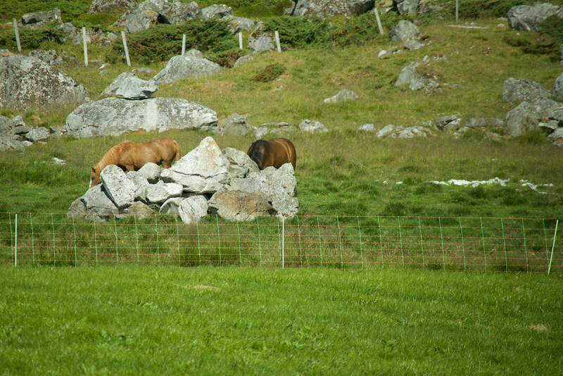 Lots of horses on Lofoten