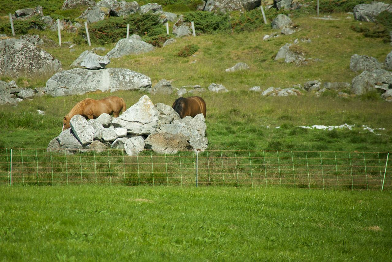 Lots of horses on Lofoten
