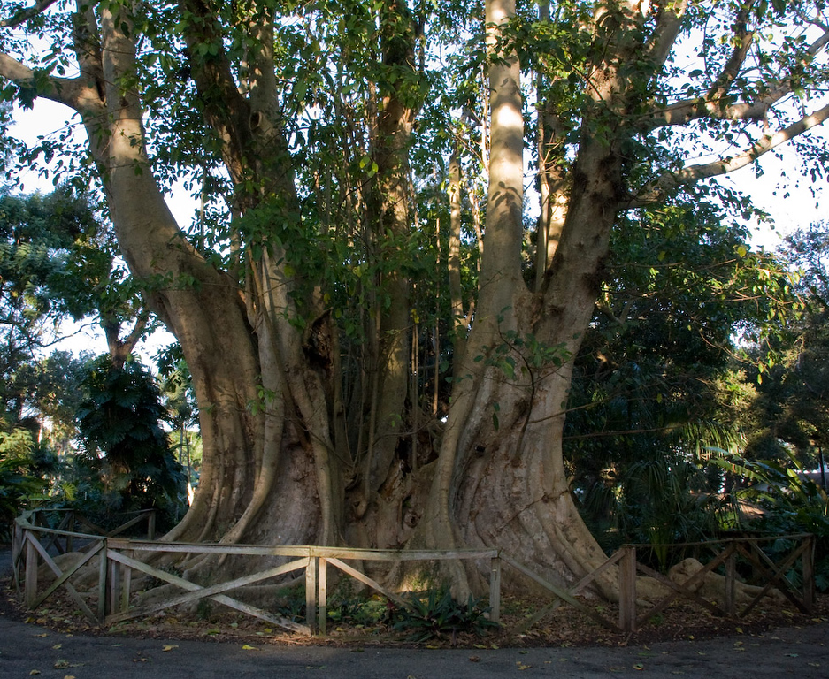 This is one big tree!  A Banyan is a fig that starts its life as an epiphyte (an organism that grows upon or attached to a living plant) when its seeds germinate in the cracks and crevices on a host tree (or on structures like buildings and bridges).