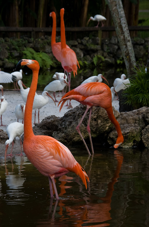 And sometimes, you even get to see a Flamingo with its neck stretched out as it vocalizes.